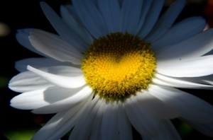 close-up-of-a-daisy