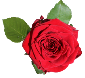 red-rose-with-green-leaves